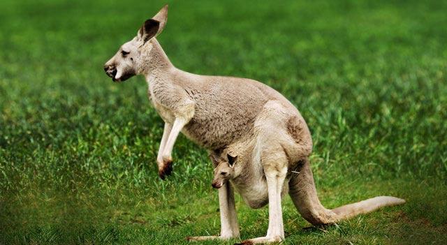Kangaroo Pictures