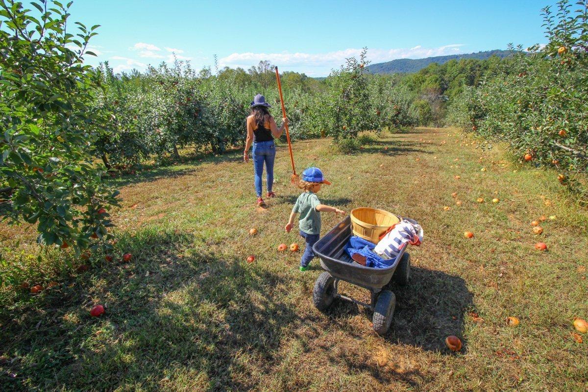 Apple Picking in Asheville