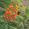 Scottsdale AZ desert plants Mexican Bird of Paradise and Butterfly