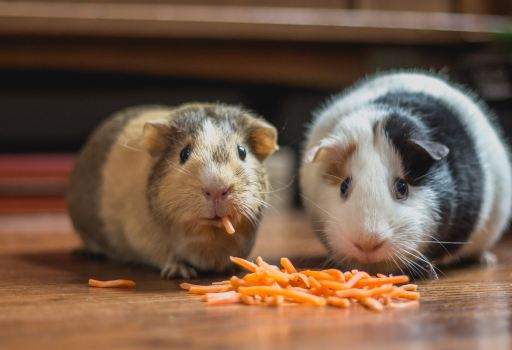 Two guinea pigs eating snacks