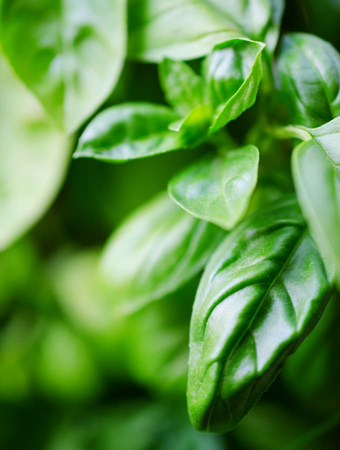 Close up photo of basil leaves