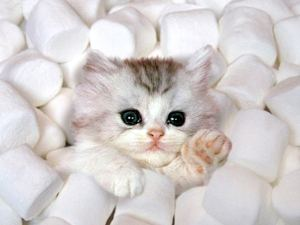 kitten-in-marshmallows