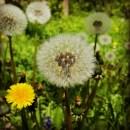 Pusteblumen-Wunder