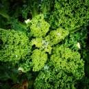 Bio-angewandter Klimaschutz Grünkohl