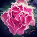 #darumgrüner-Rose-Neuanfang
