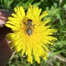 Insektenhotel-Biene auf Löwenzahn