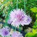 Insektenhotel-Schnittlauchblüte