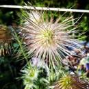 darumgrüner-Frühling Blüten