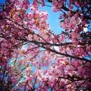 darumgrüner-Frühling Kirschblüten