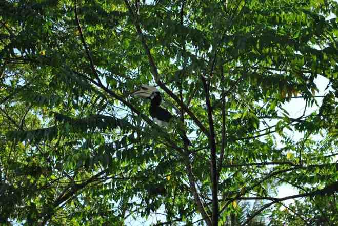 oriental hornbill