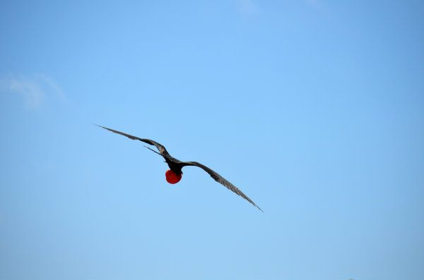 Galapagos Frigate Birds