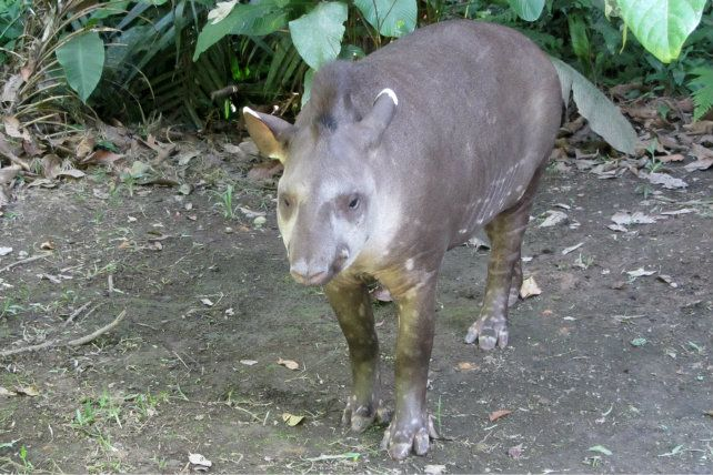 Tapir in the Bolivian Amazon