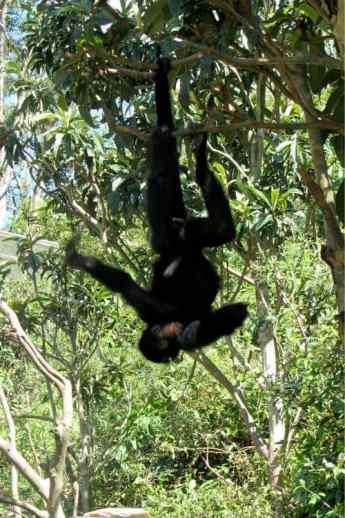 Spider Monkeys La Senda Verde Bolivia