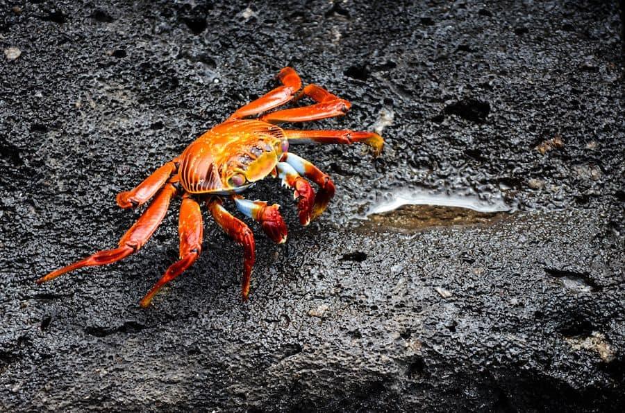 Red Rock Crab Galapagos