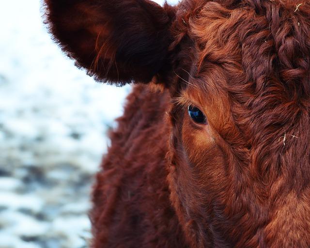 Angus Cow