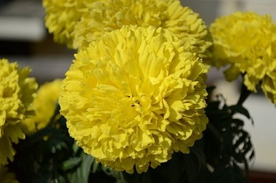 flowers used in Puja