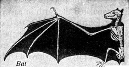 bones in the wing of a bat