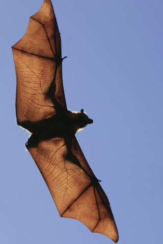 fruit bat flying to the right