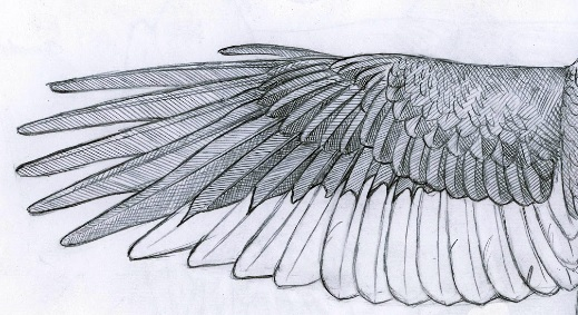 sketch of one wing of the Imperial Woodpecker bird