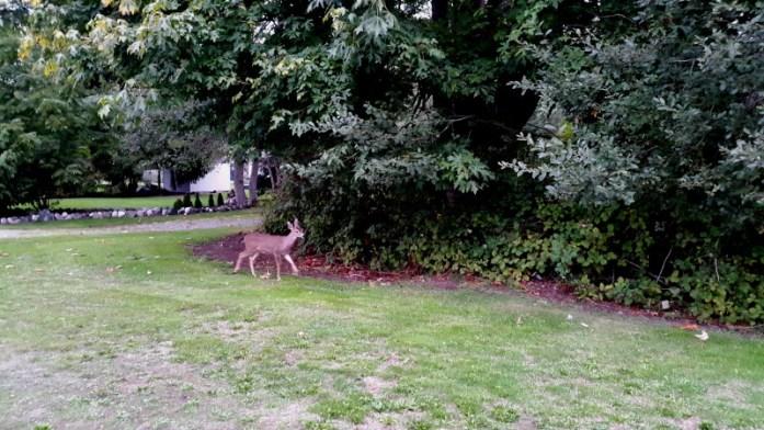 Deer in Anacortes WA
