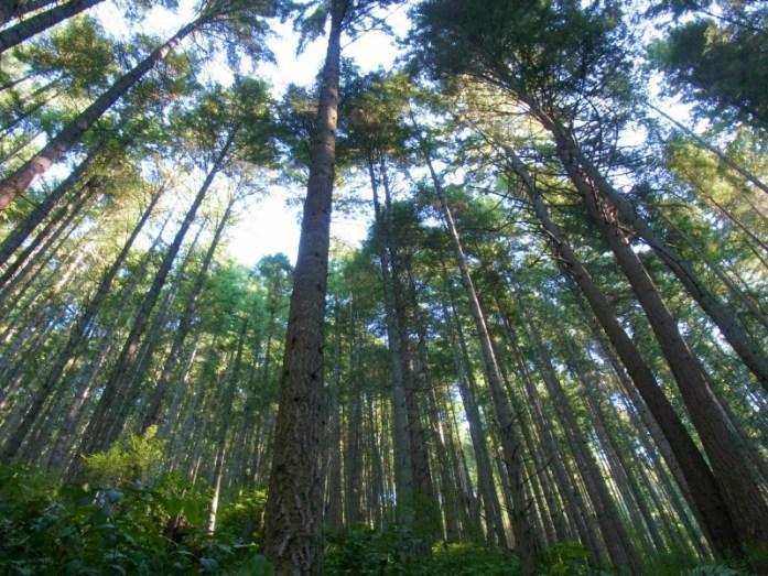 Oyster Dome cedar trees