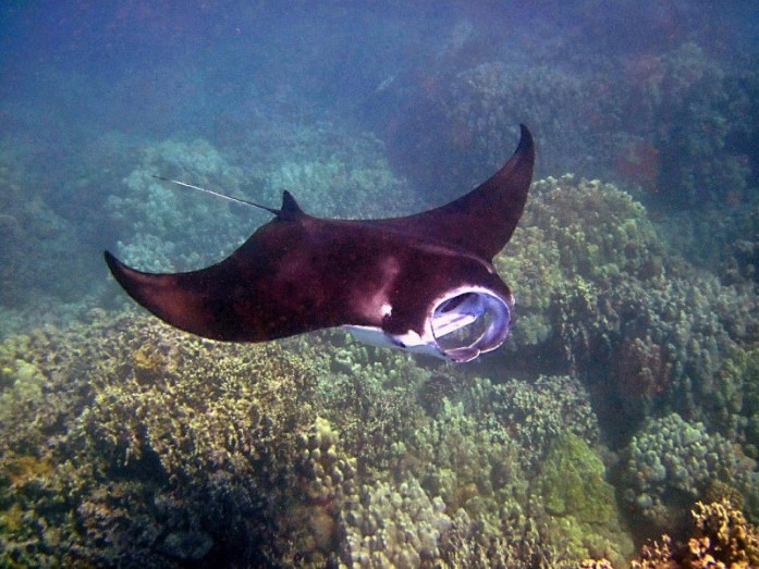 Manta Ray Fiji - LiveRecklessly.com
