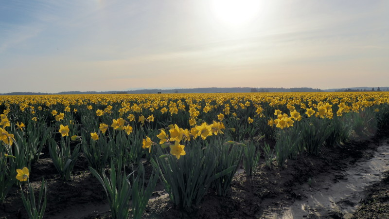 La Conner Daffodil Festival: Washington's fields of gold in March - LiveRecklessly.com
