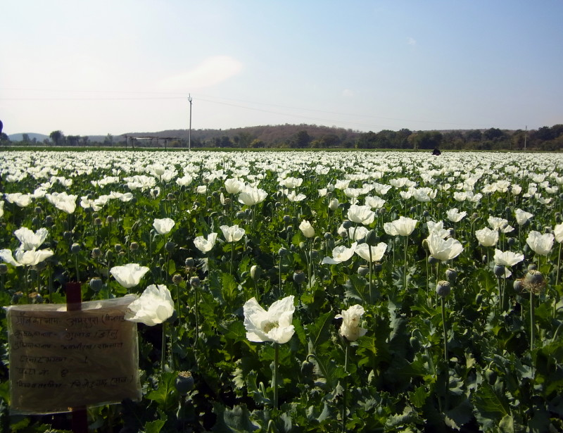 Photos to fall in love with India: Opium poppy fields in Rajasthan - LiveRecklessly