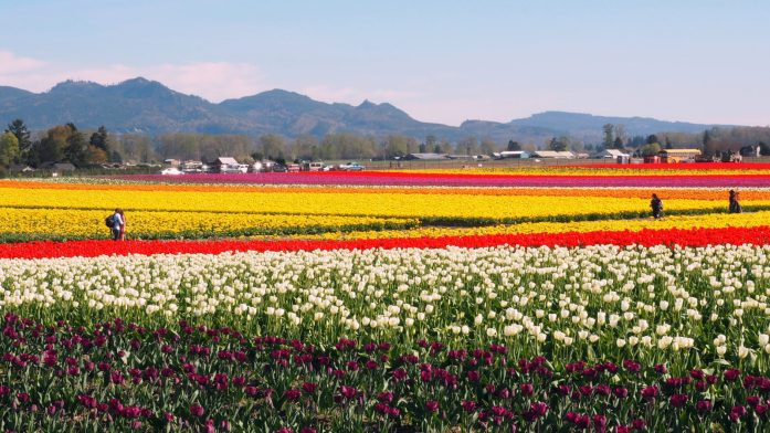kagit Valley Tulip Festival 2016. In April each year, millions of tulips burst into bloom for one of Washington state's most popular festivals. It's a beauty to check out the vibrant colours popping against the backdrop of the cascade mountains. Read more at www.liverecklessly.com