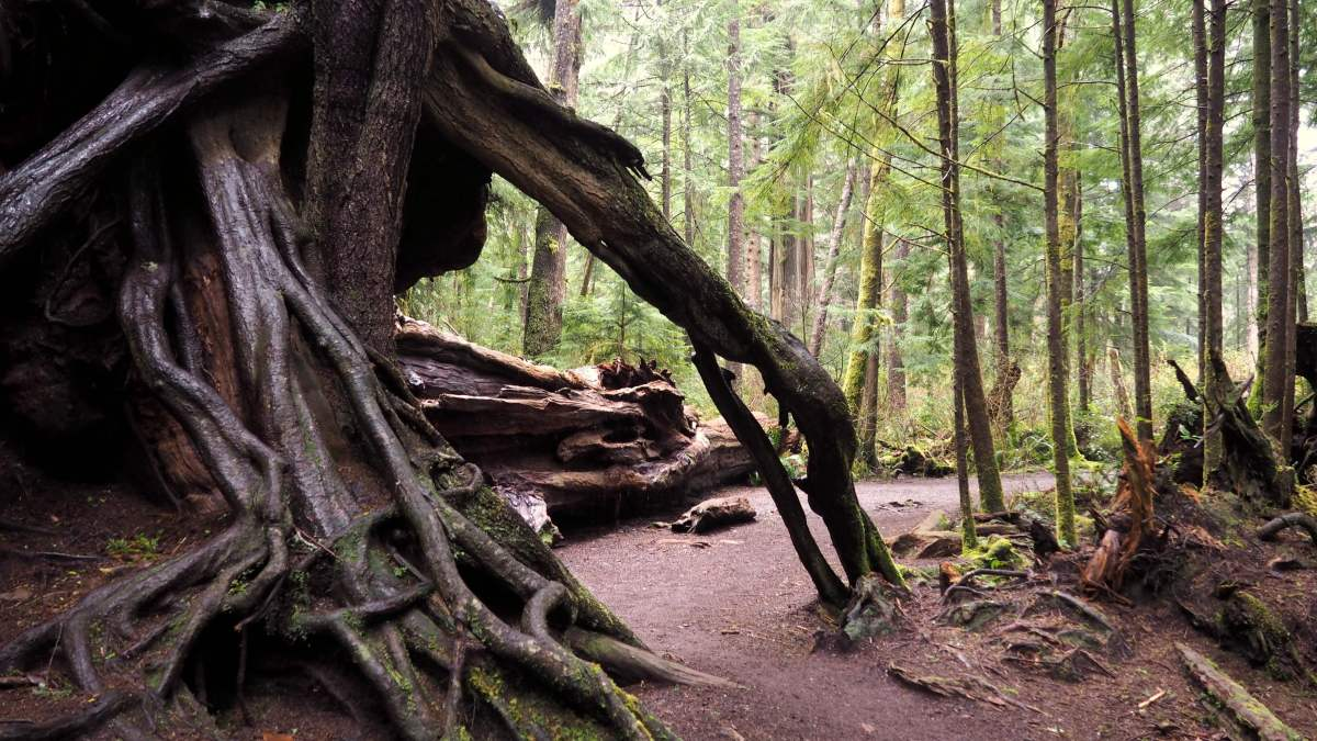 Big Cedar Tree from below An Olympic National Park road trip - Live Recklessly
