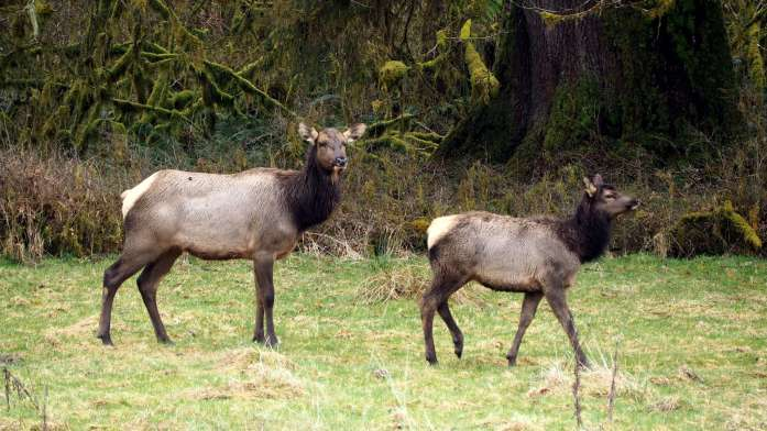 ELK up close An Olympic National Park road trip - Live Recklessly