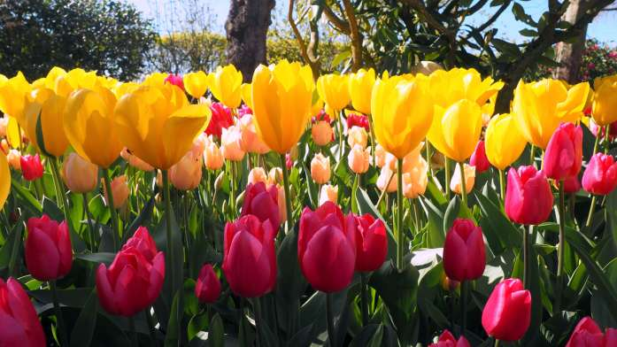 Tulips in Skagit Valley - Ultimate Weekend Guide to La Conner - Live Recklessly