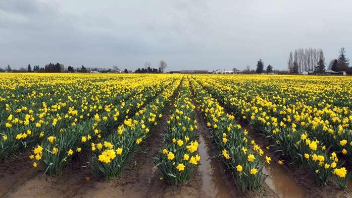 March Expat Escapades fields Daffodil Festival la Conner