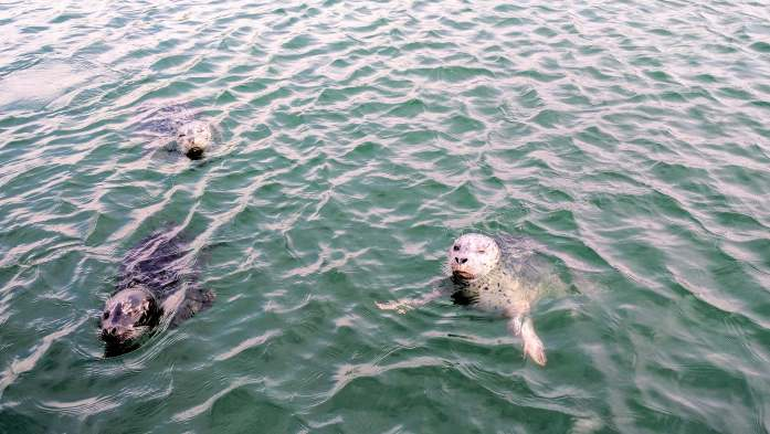 Seals in Skyline Marina Anacortes - Salmon fishing in the San Juan Islands Washington State - Live Recklessly