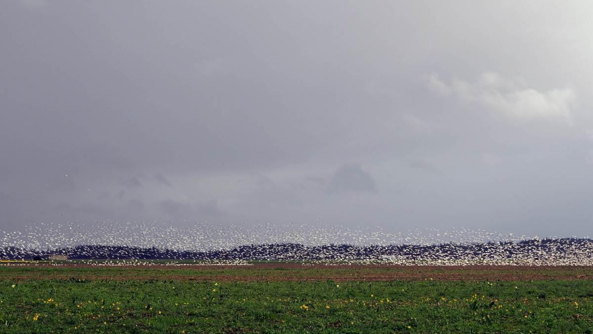 Expat Escapades March 2017 - Snow geese in Skagit Valley March Expat Escapades