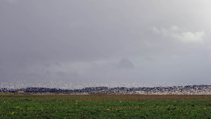 Expat Escapades March 2017 - Snow geese in Skagit Valley March Expat Escapades