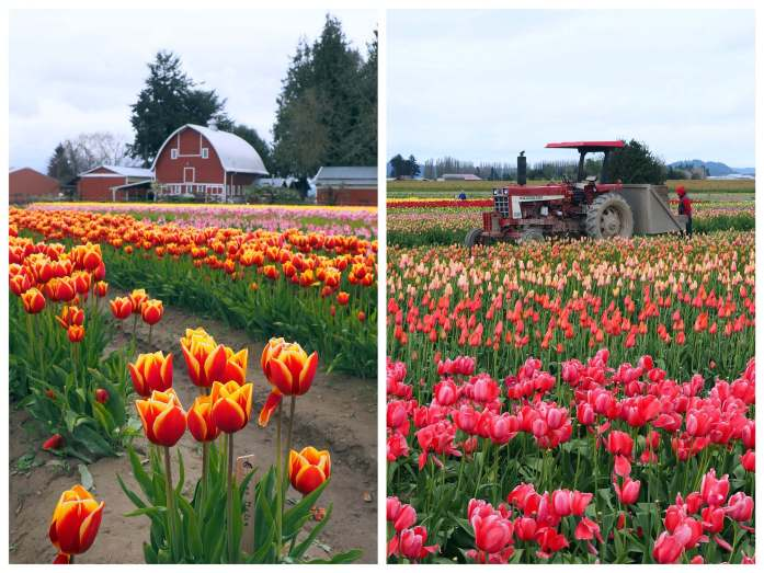 Expat Escapades April 2017 - Tulip Town Skagit Valley - Live Recklessly