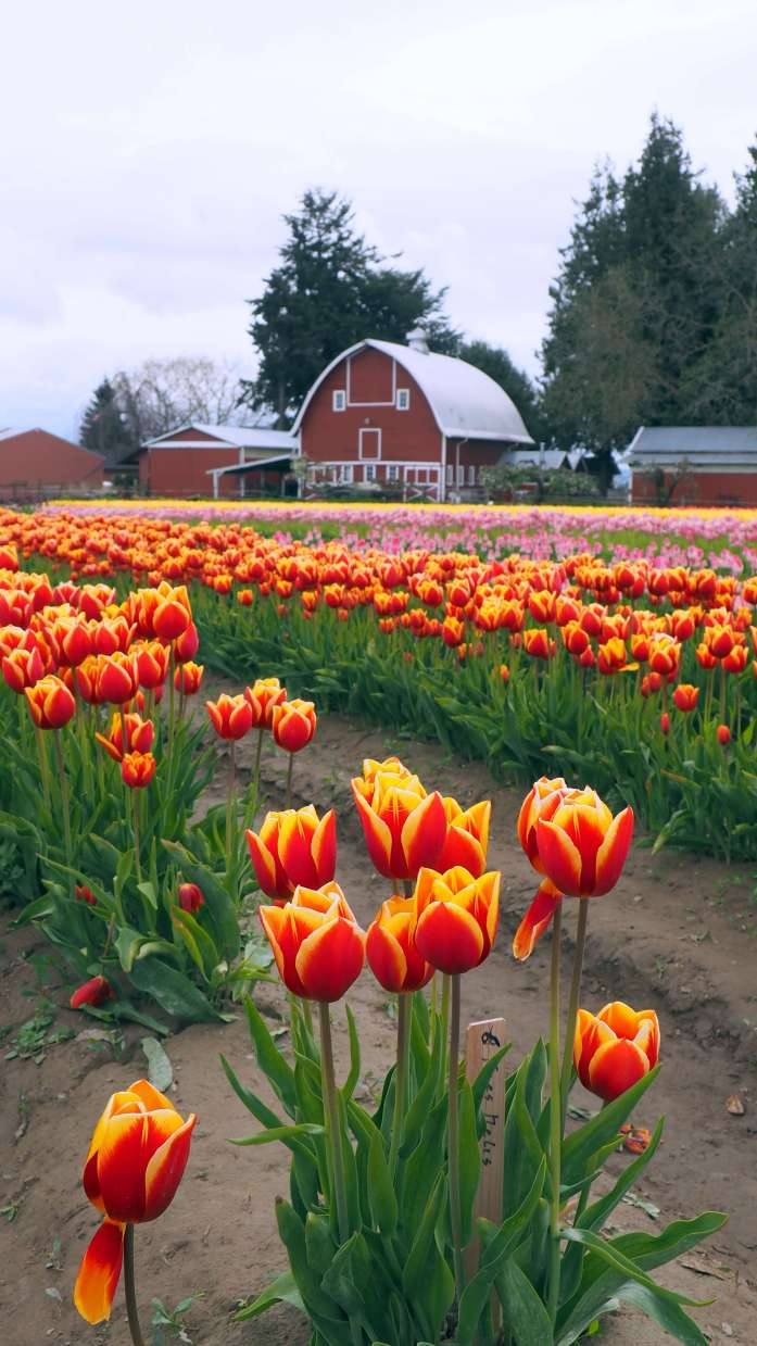 Red and yellow tulips Tulip Town Skagit Valley