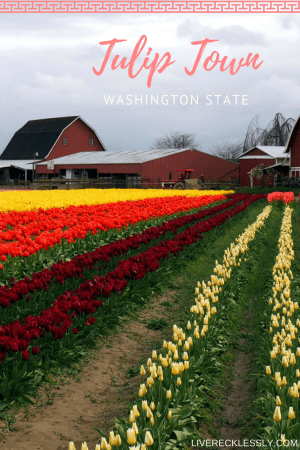 A cloudy and colourful morning exploring the tulip fields at Tulip Town Skagit Valley, Washington USA. Each April this area in rural Washington comes alive with flowers! Read more on Live Recklessly