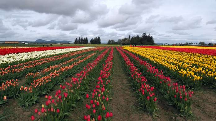 Stormy skies over Tulip Town skagit valley