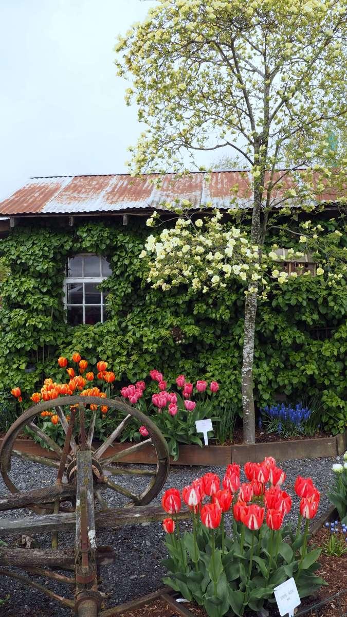 Tulip Town Skagit Valley flower display