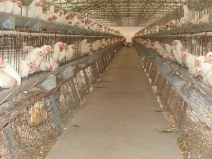 broilers in battery cage system