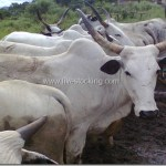 White fulani cattle