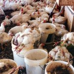 high poultry mortality