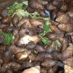 snail farming heliculture