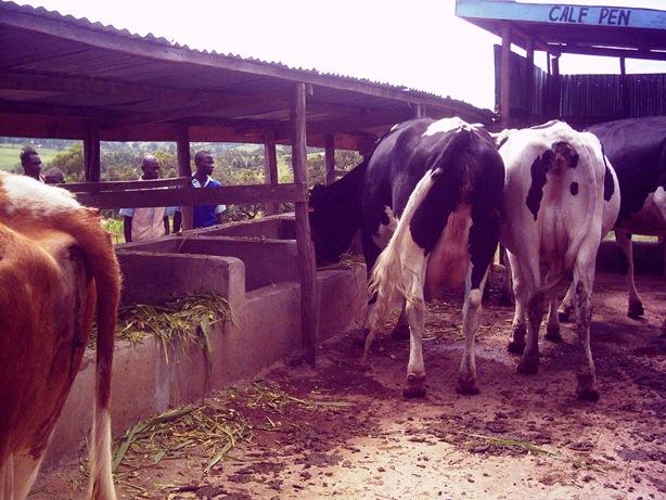 cows stall feeding