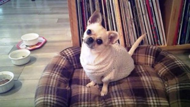 chihuahua-loves-going-for-walks-364×205