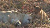 Η απίστευτη αντίδραση μιας λέαιναςόταν την ξυπνάει το μικρό της!