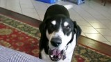 """Ανακοίνωσε στον Σκύλο του ότι πήρε καινούριο Κατοικίδιο. Η Αντίδρασή του; Έχει """"Ρίξει"""" το ίντερνετ! (Βίντεο)"""