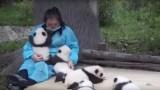 Αυτή η δουλειά μπορεί να είναι ίσως η καλύτερη Ever!! Αυτή η γυναίκα είναι επαγγελματίας τρόφιμος για Panda